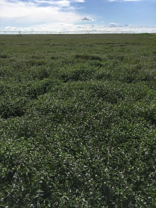 vertical mint field